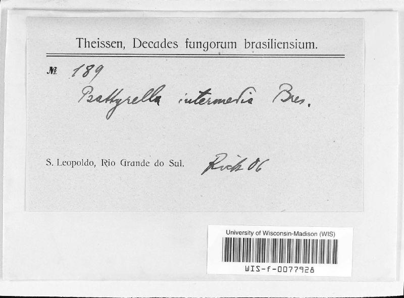 Psathyrella intermedia image
